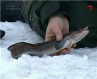 Видео «Мастер-рыболов» — Река Молога. Налим