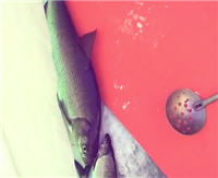 Видео «Мужская компания» — Зимняя ловля сига