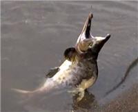 Видео «Моя рыбалка» — Рыбалка на островах Итуруп (77 выпуск)