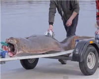 Видео «Siandien Kimba» — Рыбалка в Норвегии 2013 (Рекордный 195 кг Палтус)
