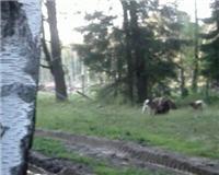 Видео «Главная охота» —  Охота с лайками