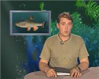 Видео «Рыбьи портреты» — Голавль