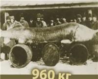 Видео « Словарь рыбака» — Белуга