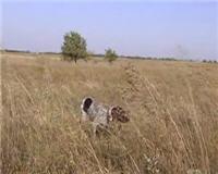 Видео «Главная охота» —  Охотничье собаководство