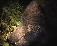 Видео «Главная охота» —  Охота на медведя в Костромской области