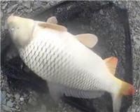 Видео «Клёвая рыбалка» — Сазан на донку
