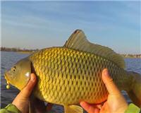 Видео «Клуб рыбаков» — Ловля карпа на кружки поздней осенью
