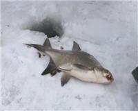 Видео «Мужская компания» — Ловля леща зимой