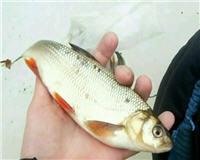 Болен рыбалкой — Язь