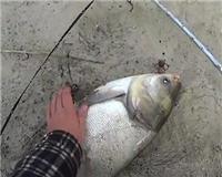 Дневник рыболова — Рыбалка и отдых на реке Дон. Лещ и огромный толстолобик