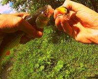 Майский голавль — Рыбалка 68
