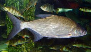 Рыбы наших широт. Густера