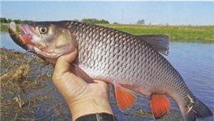 Рыбы наших широт. Голавль