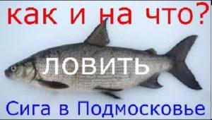 Как и на что ловить чира, нельму и муксуна на платниках Подмосковья  - Рыбалка моими глазами