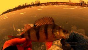 Первый лед. Ловля окуня на безмотылку — Рыбалка 68