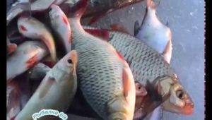 Красноперка на Шоше - Рыбалка 69