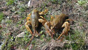 Ловля раков в начале марта на раколовки — Дневник рыболова
