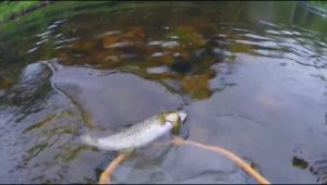 Ловля ручьевой форели на лесной реке спиннингом на воблеры - Мужская компания