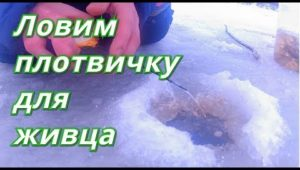 Ловим плотву для живца - Болен рыбалкой
