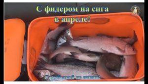 С фидером на сига в апреле - С рыбалкой по жизни!