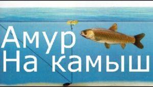 Белый амур на камыш — Рыбалка моими глазами