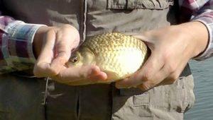Насадка для белой рыбы с укропом
