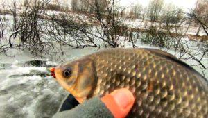 Зимняя ловля карпа и карася в коряжнике — Клуб рыбаков