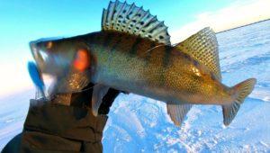 Бешеный клев судака на балансиры и ратлины — Клуб рыбаков