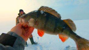 Ловля огромного окуня на балансир — Клуб рыбаков