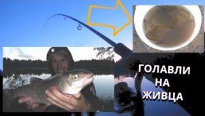 Ловим голавля на живца - Болен рыбалкой