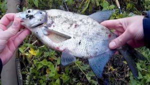 Насадка с мелассой для белой рыбы