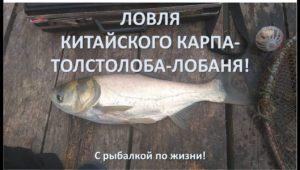Ловля китайского карпа — С рыбалкой по жизни!