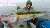 Бешеный клев судака на ратлины - Клуб рыбаков