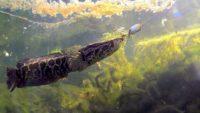 Ловим змееголова - Планета рыбака