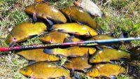 Рыбалка на линя - Клуб рыбаков