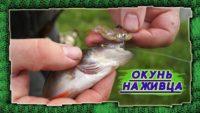 Окунь на живца — Рыбалка 69