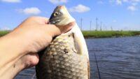 Дикий карась в Орловской области - Рыбачим сами