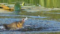 Активный клев карася — Рыбалка на реке