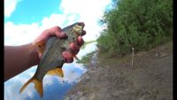 Чехонь и плотва на фидер - Рыбалка 62
