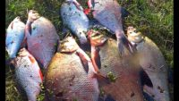 Разный монтаж донок на леща - Рыбалка 62