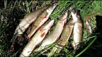 В этих корягах полно рыбы! — Рыбалка 62