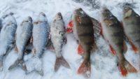 Крупный окунь и плотва — Рыбачим сами