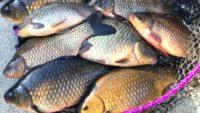 Ловля карася на блесну — Клуб рыбаков