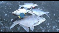 Ловля леща зимой на мормышку - Рыбалка 62