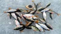 Самая лучшая насадка для зимней рыбалки