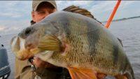 Самая уловистая приманка на окуня - Клуб рыбаков