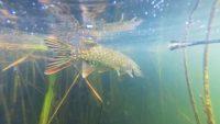 Ловля щуки и окуня на удочку — Рыбалка на реке