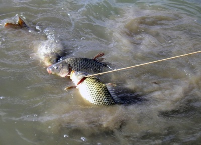 Хранение рыбы на кукане