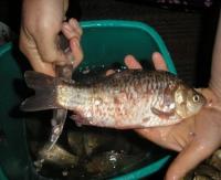 Способы умерщвления рыбы