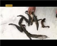 """Видео """"Подсекай, Семеныч!"""" - Королевская рыба налим"""